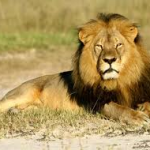 Farmers using insecticides to kill lions